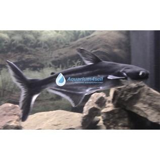 Акулий пангасиус
